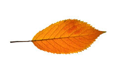 Single yellow-red native grape leaf. Over the white background Stock Image