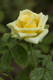 Single yellow rose Royalty Free Stock Photography