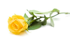 Single yellow rose Royalty Free Stock Image