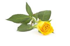 Single yellow rose Stock Photography