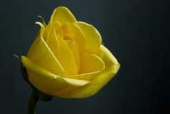 Single yellow rose on black background in sunlight Royalty Free Stock Image