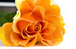 Single yellow rose close-up Stock Images