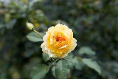 Single yellow rose in closeup Stock Photos