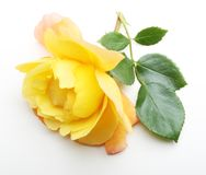 Single yellow rose flower with leaf. On white background Royalty Free Stock Photo