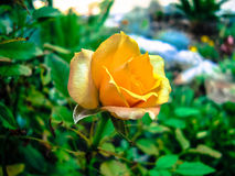 Single yellow rose Stock Image