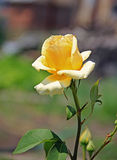 Single yellow rose on a stem, in the garden, outdoors Stock Photography