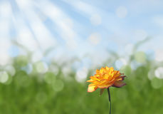 Single Yellow rose with sunny abstract bokeh sky and grass background Stock Photography