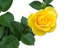 Single yellow rose surrounded by it`s leaves isolated on white b. Ackground.  Isolated from on the bush not a cut flower Royalty Free Stock Image