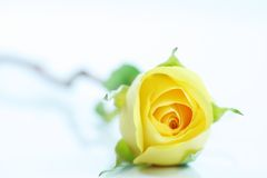 Single yellow rose on white Royalty Free Stock Images