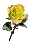 Single Yellow Rose on White Background Stock Photography