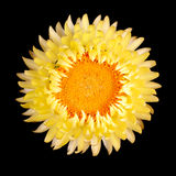 Single yellow strawflower isolated against black Royalty Free Stock Image
