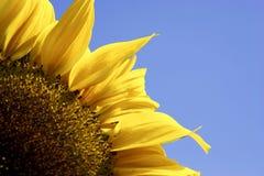 Single yellow sunflower. Against blue sky stock photos