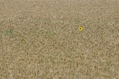 Single yellow sunflower in golden wheat field. Single lonely  yellow sunflower in golden wheat field Stock Photography