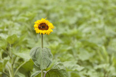 Single yellow sunflower on green background Stock Images