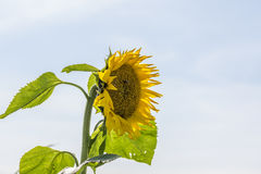 Single yellow sunflower Royalty Free Stock Image