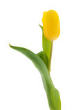 Single yellow tulip Stock Photography