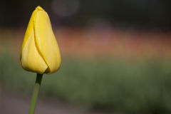 Single yellow tulip. Flowering single yellow tulip in a flowerbed Royalty Free Stock Images