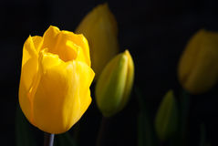 Single yellow tulip with more tulips fading into background Royalty Free Stock Photos