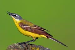 Single Yellow wagtai bird during the spring nesting season. – latin: Motacilla flava Royalty Free Stock Image
