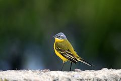Single Yellow wagtail bird on grassy wetlands during a spring ne. Sting period Royalty Free Stock Photos