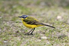 Single Yellow wagtail bird on grassy wetlands during a spring ne. Sting period Royalty Free Stock Image