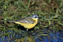 Single Yellow wagtail bird on grassy wetlands in spring season. Single Yellow wagtail bird on grassy wetlands during a spring nesting period Stock Photography