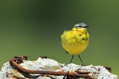 Single Yellow wagtail bird on wetlands. During a spring nesting period Stock Images