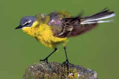 Single Yellow wagtail bird on a wooden fence stick. During a spring nesting period Stock Images