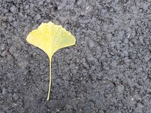 A single yellowed sheet of Gingobiloba lies on the new black asphalt. Autumn fallen leaves. Japanese flora on a black background. stock photography