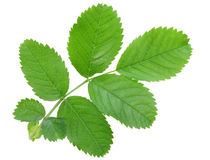 Single young branch with green leaf Stock Photo