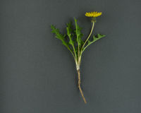 A Single Young Dandelion Plant on a Grey Background. A landscape image of a single dandelion plant on a grey background. The entire plant is shown, the flower stock image