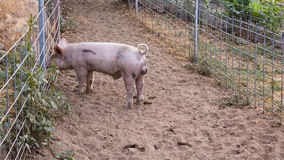 Single young dirty pink domestic pig with curly tail poking her nose through wire fence Stock Photo