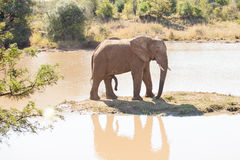 Single young elephant bull standing on small island. In river royalty free stock photography
