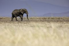 Single young elephant walking across the grasslands of Amboselli National Park, Kenya Africa. A safari experience stock photography