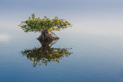 Single young endangered mangrove reflects in calm water Royalty Free Stock Photography