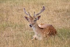 Single young fallow stag calling Royalty Free Stock Photography