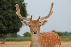 Single young fallow stag deer close up Royalty Free Stock Photos