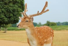 Single young fallow stag close up Stock Photos