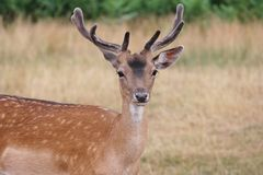 Single young fallow stag Royalty Free Stock Photography