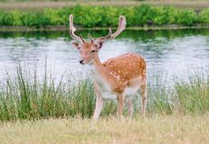 deer stag fallow with antlers single young stock photos