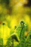 Single young fern Royalty Free Stock Photography