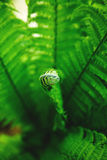 Single young fern Stock Photo