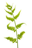 Single young green fern on white Royalty Free Stock Image