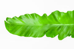 Single young green leaf Fern Royalty Free Stock Images