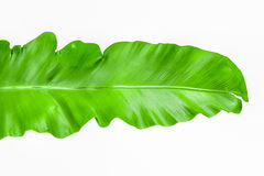 Single young green leaf Fern Stock Photos