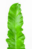 Single young green leaf Fern Stock Photography