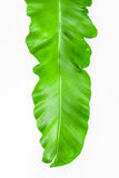 Single young green leaf Fern Royalty Free Stock Photo