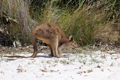Young kangaroo on white sand. Single young kangaroo on white sand Jervis Bay stock images