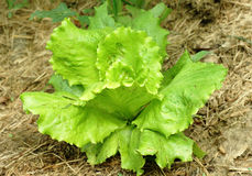 Single young lettuce. On land Royalty Free Stock Images