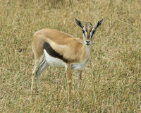 Single young male Thompson Gazelle standing in grass Stock Photography